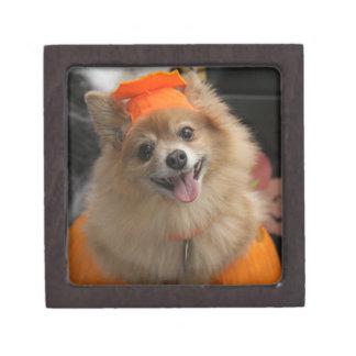 Lächelnder Foxy Spitz-Welpe im Kürbis Halloween Kiste
