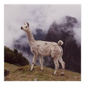 Lama Machu Picchu, Peru Poster