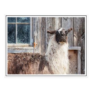Lama vor einer Scheune Postkarte