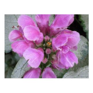 Lamium Maculatum lila Postkarte