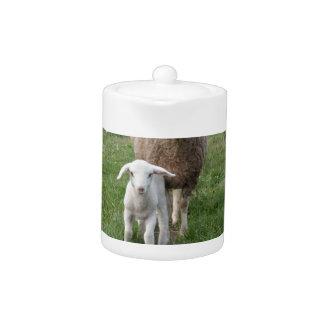 Lamm und Schafe