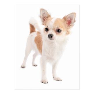 Lange Haar-Chihuahua-Hündchen-Postkarte Postkarte