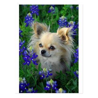 Lange Mantel-Chihuahua in den blauen Mützen Postkarte