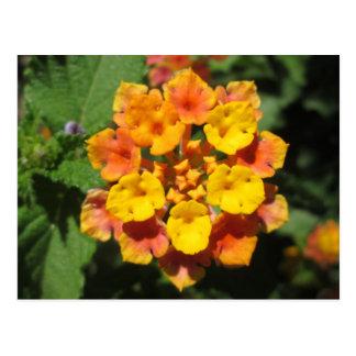 Lantana-Wüsten-Blume Postkarte