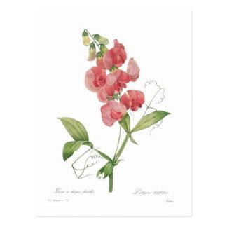 Lathyrus latifolius postkarte
