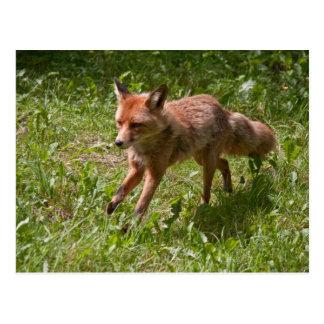 Laufender Fuchs Postkarte