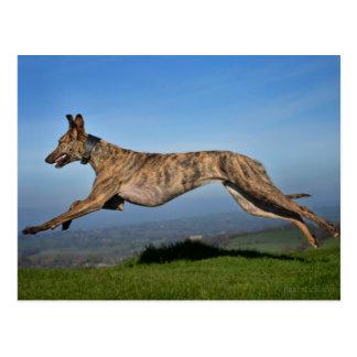 Laufendes Brindled Lurcher-Windhund-Kreuz Postkarte
