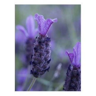 Lavendel-Blumen-Foto-Postkarte Postkarten