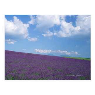 Lavendel-Feld 3 Postkarte