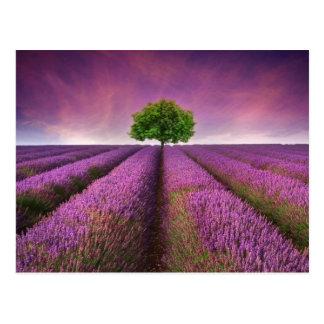 Lavendel-Feld-Landschaftssommer-Sonnenuntergang Postkarte