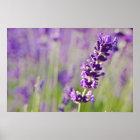 Lavendel | Lavendel Poster