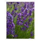 Lavendel | Lavendel Postkarte