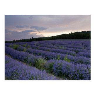 Lavendelfeld am Sonnenuntergang Postkarte