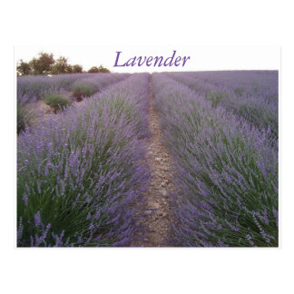 Lavendelfeldpostkarte Postkarte