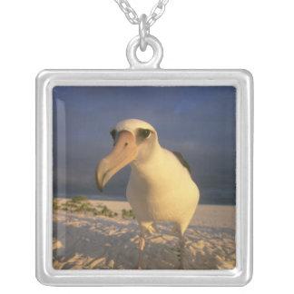 Laysan Albatros, Diomedea immutabilis), Versilberte Kette