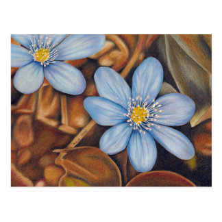 Leberblümchen - Farbstiftzeichnung Postkarte
