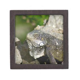 """Leguan, Curaçao, karibische Inseln, Foto 2"""" x 2"""" Schmuckkiste"""