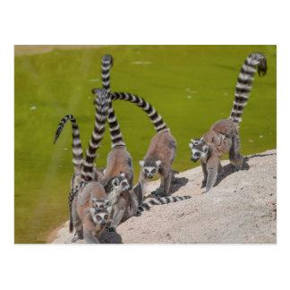 Lemur am Zoo Postkarte