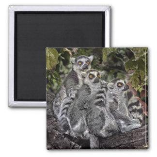 Lemursringtail-Magnet Quadratischer Magnet