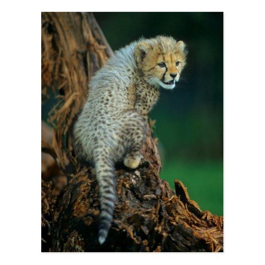 Leopard, Baby auf Baum, Postkarte