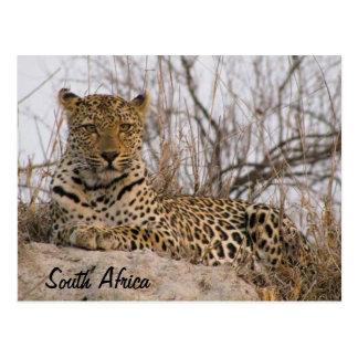 Leopard, der auf einem Hügel stillsteht Postkarte