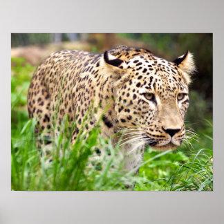 Leopard, der sein Opfer betrachtet Poster