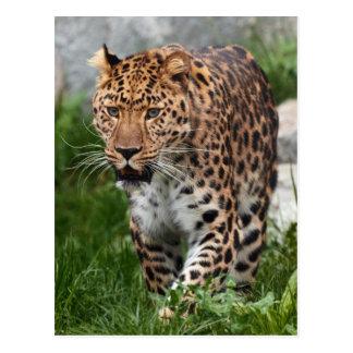 Leopard-Foto Postkarte