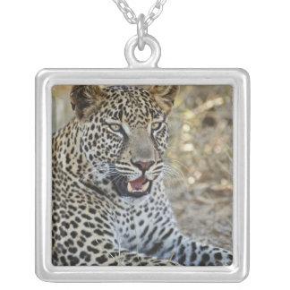 Leopard, Panthera pardus, Samburu Spiel Versilberte Kette