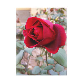 letzte Rote Rose Leinwanddruck