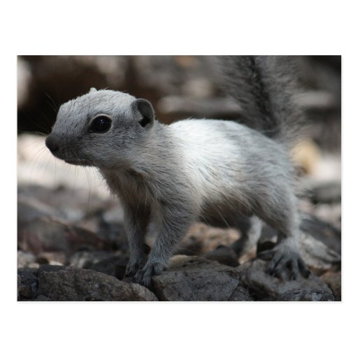 Leucistic weiße Eichhörnchen-Postkarte