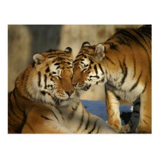 Liebevolle Tiger Postkarte