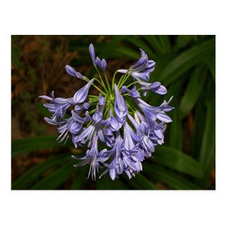 Lila blaue Agapanthus-Blume in der Blüte im Garten Postkarte