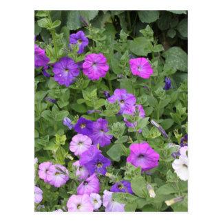 Lila Blumen-Frühlings-Garten-Thema-Petunie mit Postkarte