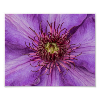 Lila Clematis-Blume Poster