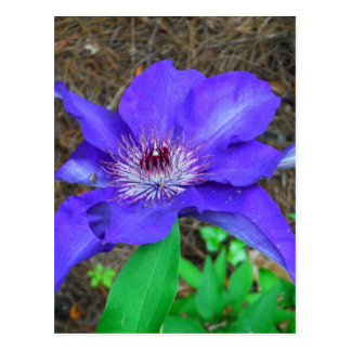 Lila Clematis-Blume Postkarte