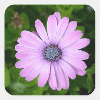 Lila Gänseblümchen-Aufkleber Quadratischer Aufkleber