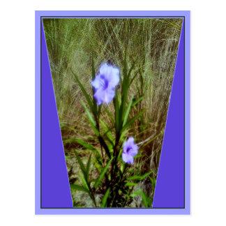 Lila mexikanische Petunie-Blumen Postkarte