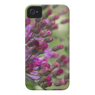 Lila riesige Ironweed-Wildblume-Knospen iPhone 4 Cover