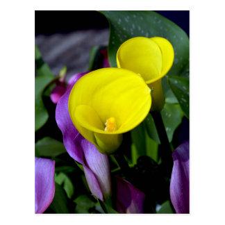 Lila und gelbe Callalilien-Blumenpostkarte Postkarte