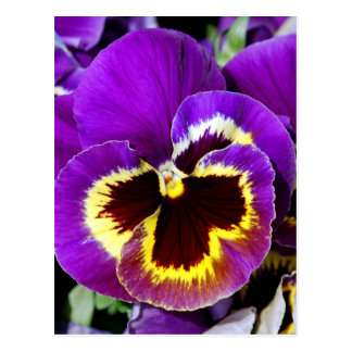 Lila und gelbe Pansy-Blume Postkarte