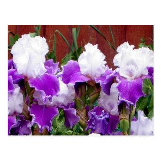 Lila und weiße Iris Postkarte