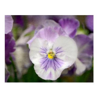 Lila und weiße Violas Postkarte