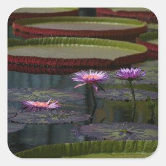Lila Wasserlilie-Lotos Quadratischer Aufkleber