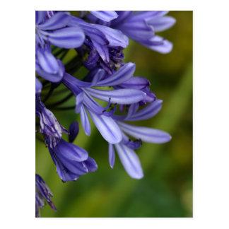 Lilie des Nils (Agapanthus-SP.) Postkarte