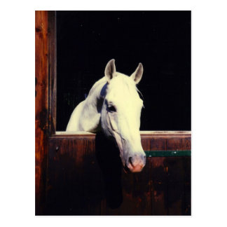 Lipizzaner Pferd Postkarte