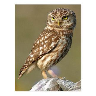 Little Owl (Athene noctua) Postkarten
