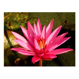 Lotos-Blume in der Natur Postkarten