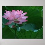Lotos-Blume Plakatdrucke