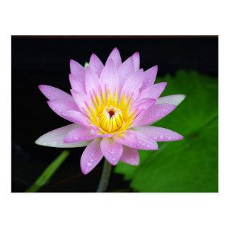 Lotos-Blume Postkarten