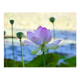 Lotus-Blüte Postkarte